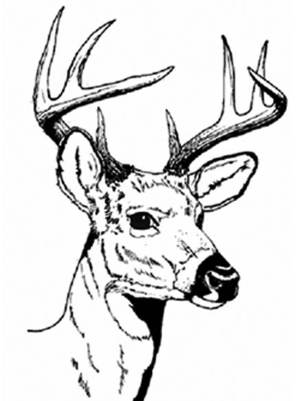 Whitetail Deer - Something in the Air - Whitetail Deer - Greg